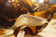 United Kingdom, Northern Ireland, County Down, Portaferry, Close up of Baby Cuttlefish at Aquarium Exploris - SIEF001738