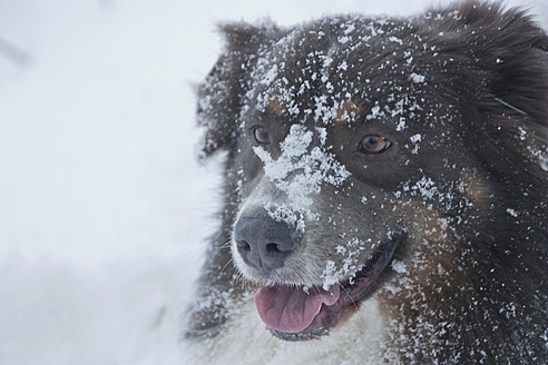 Germany, Braunschweig, Snowy australian shepherd, close up - HKF000477