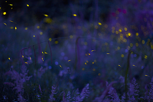 Italy, Tuscany, View of fireflies in meadow at night - HSIF000135