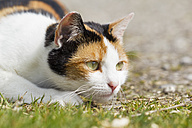 Germany, Bavaria, Close up of three coloured European Shorthair cat - FOF003592