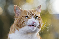 Germany, Bavaria, Close up of angry European Shorthair cat - FOF003595