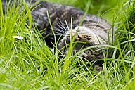 Germany, Bavaria,  European Shorthair cat lying on meadow - FOF003590