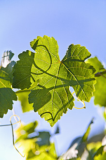 Germany, Close up of vine leaf against sky - TSF000348
