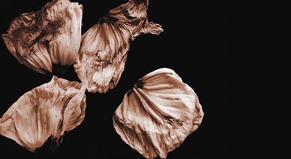 Withered leaves of poppy flower on black background, close up - HSTF000022