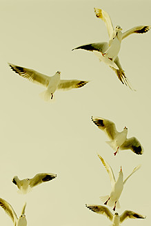 Germany, Hamburg, Group of seagulls flying in sky - TLF000604
