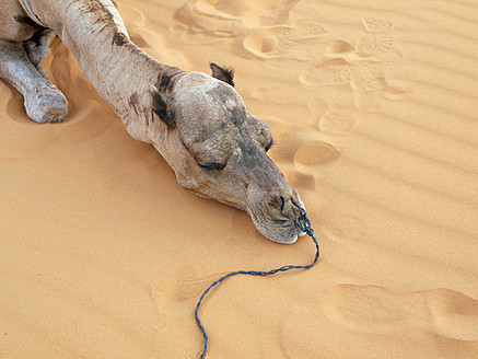 North Africa, Morocco, Merzouga, Camel resting in Erg Chebbi desert - BSCF000072