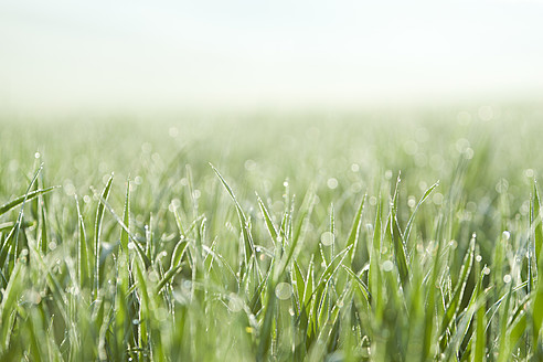 Italy, Tuscany, View of grass with dew drops, close up - FLF000009