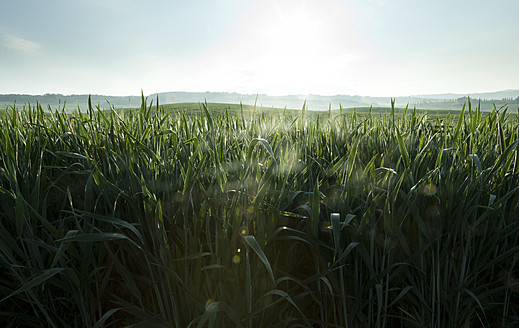 Italy, Tuscany, View of wheat field in early morning - FLF000011