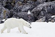 Europe, Norway, Svalbard, Polar bear and bird at arctic - FOF003608