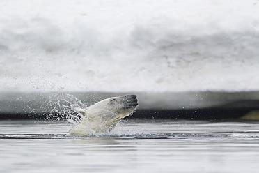 Europe, Norway, Svalbard, Polar bear shaking fur in water - FOF003609