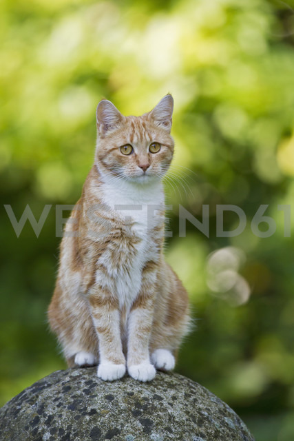 Germany, Ginger cat sitting on stone - FOF003613