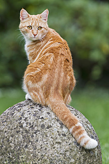 Germany, Ginger cat sitting on stone - FOF003615