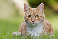 Germany, Ginger cat sitting in meadow - FOF003616
