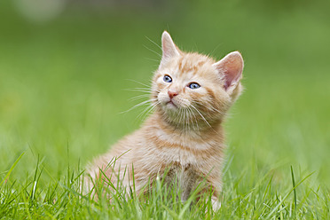 Germany, Kitten sitting in meadow, close up - FOF003624