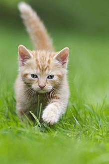 Germany, Kitten walking in meadow, close up - FOF003625
