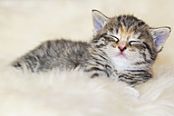 Germany, kitten sleeping on fur, close up - FOF003627