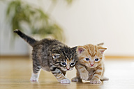 Germany, Kittens looking on parquet, close up - FOF003647