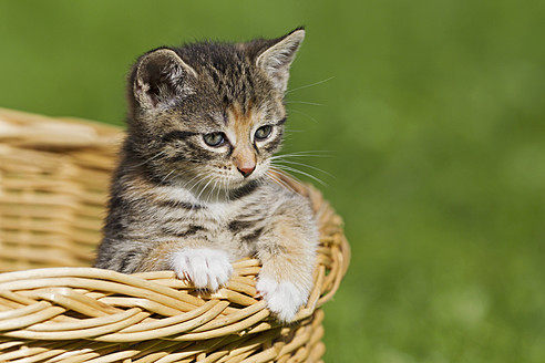 Germany, kitten sitting in basket, close up - FOF003677