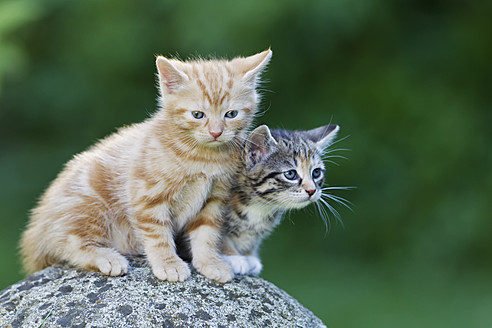 Germany, Kittens sitting on stone, close up - FOF003689
