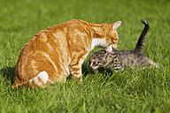 Germany, Cat licking her kitten in meadow - FOF003715