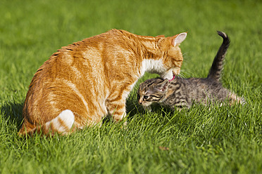 Germany, Cat licking her kitten in meadow - FOF003715