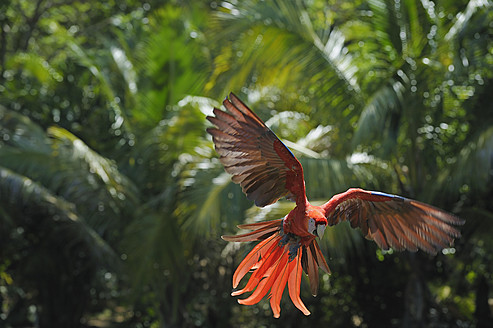 Latin America, Honduras, Bay Islands, Roatan, Scarlet macaw parrot flying - RUEF000719