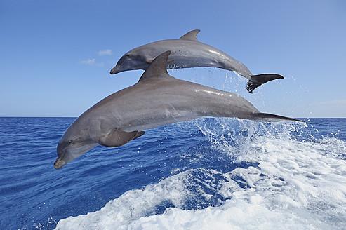 Latin America, Honduras, Bay Islands, Roatan, Bottlenose dolphin jumping in caribbean Sea - RUEF000721