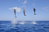 Latin America, Honduras, Bay Islands, Roatan, Bottlenose dolphin jumping in caribbean Sea - RUEF000723