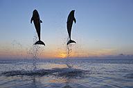 Latin America, Honduras, Bay Islands, Roatan, Bottlenose dolphin jumping in caribbean Sea - RUEF000724