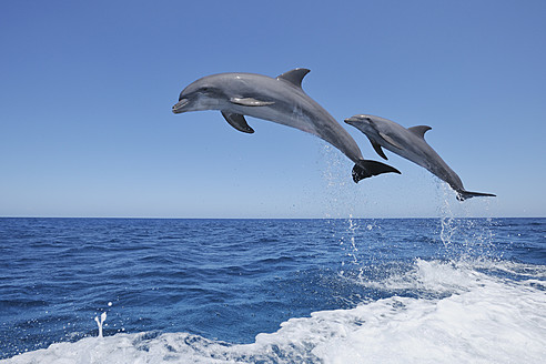 Latin America, Honduras, Bay Islands, Roatan, Bottlenose dolphin jumping in caribbean Sea - RUEF000725