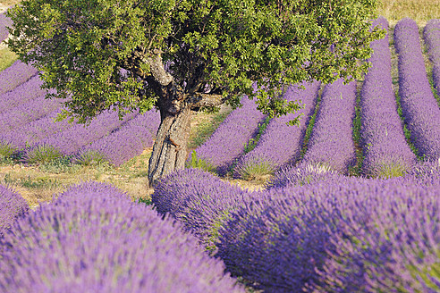 France, Mediterranean Area, Plateau De Valensole, Valensole, View of lavender field - RUEF000745