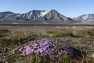 Europe, Norway, Spitsbergen, Svalbard, Longyearbyen, Moss campions with mountains - FO003705