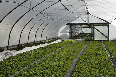 Germany, Upper Bavaria, Weidenkam, View of greenhouse with endive - TCF002048