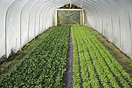 Germany, Upper Bavaria, Weidenkam, View of greenhouse with purslane - TCF002057