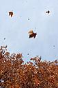 Germany, Hesse, Frankfurt, Tree and falling leaves - MUF001181