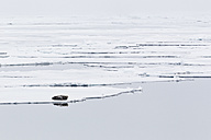 Europe, Norway, Spitsbergen, Svalbard, View of bearded seal lying on drift ice - FOF003733