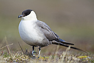 Europe, Norway, Spitsbergen, Svalbard, Long-tailed skua, close up - FOF003743