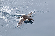 Europe, Norway, Spitsbergen, Svalbard, Little auk swimming in water - FOF003748