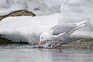 Europe, Norway, Spitsbergen, Svalbard, Glaucous gull drinking water - FOF003749