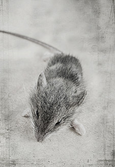 Dead mouse, close up - HSTF000019