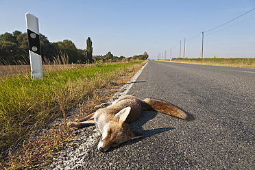Germany, Thuringia, Dead red fox on country road - WD001180