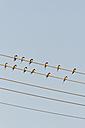 Germany, Unteruhldingen, Flock of  barn swallows on power lines - SHF000640