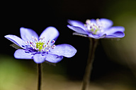 Germany, Bavaria, Anemone hepatica, close up - FOF003856
