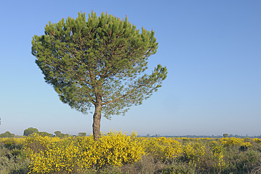 Europe, Spain, Andalusia, View of pine tree in spring at Donana National Park - RUEF000801