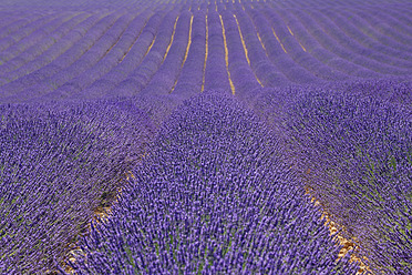 France, View of lavender field - RUEF000822