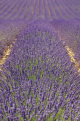 France, View of lavender field - RUEF000825