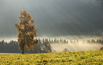 Austria, Sunbeam on foggy birch trees during autumn - WWF002211