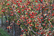 Germany, Bavaria, View of berries on tree - SIEF002389