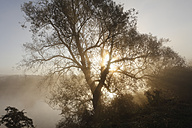 Germany, Bavaria, Wipfeld, View of willow tree in fog near Main river - SIEF002384
