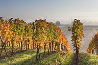 Germany, Bavaria, Theilheimer Mainleite near Waigolshausen, View of vineyard - SIEF002380